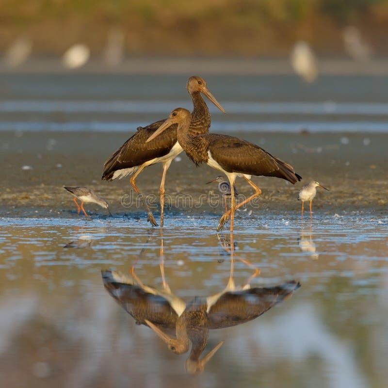 Svart stork - Ciconianigra fotografering för bildbyråer