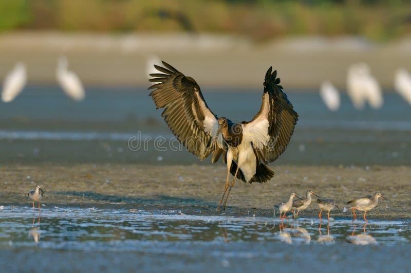 Svart stork - Ciconianigra royaltyfri foto