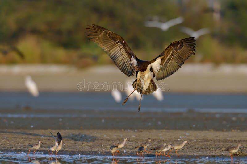 Svart stork - Ciconianigra arkivbilder