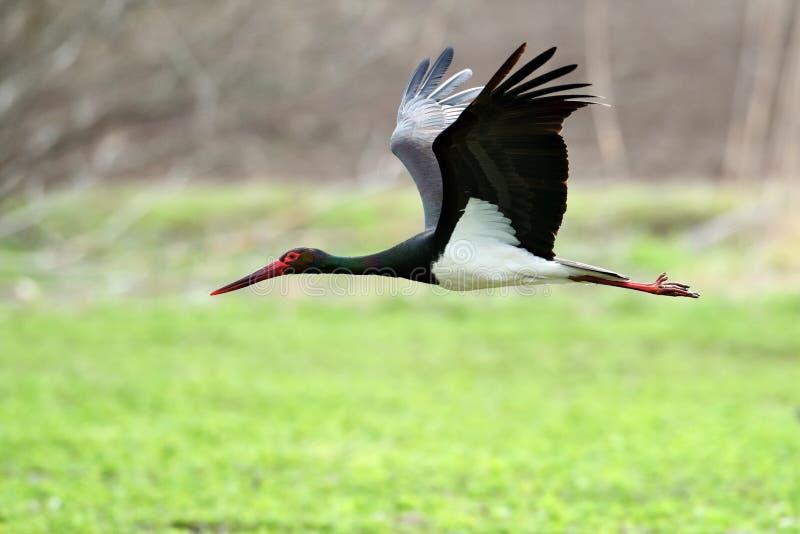 Svart stork i den naturliga livsmiljön - Ciconianigra royaltyfri bild