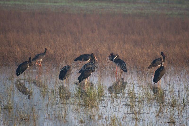 Svart stork i våtland fotografering för bildbyråer