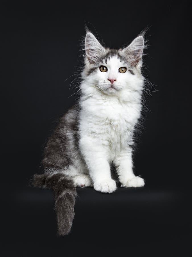 Svart strimmig katt med den vita Maine Coon katten royaltyfri fotografi