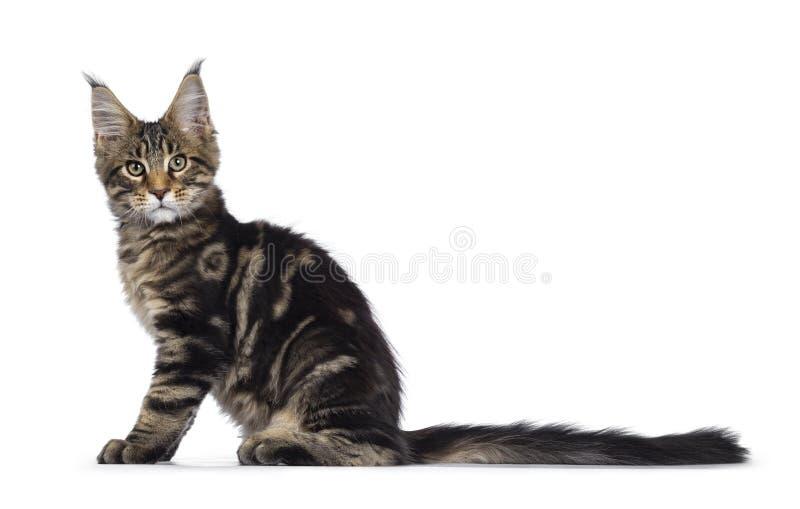 Svart strimmig kattMaine Coon kattunge på vit arkivbild