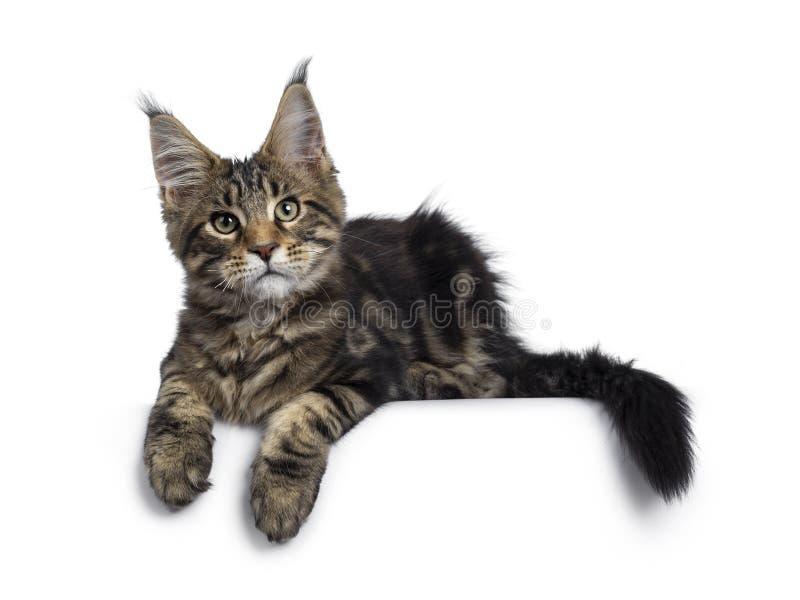 Svart strimmig kattMaine Coon kattunge p? vit arkivfoton
