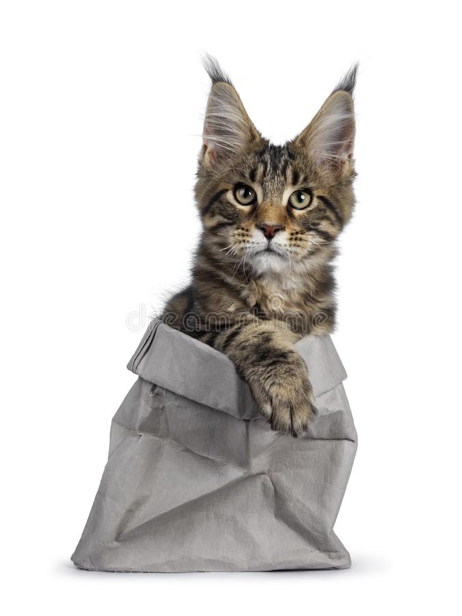 Svart strimmig kattMaine Coon kattunge p? vit royaltyfri fotografi