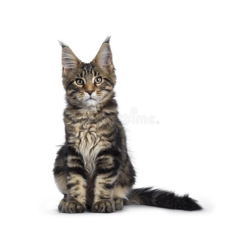 Svart strimmig kattMaine Coon kattunge p? vit royaltyfria bilder