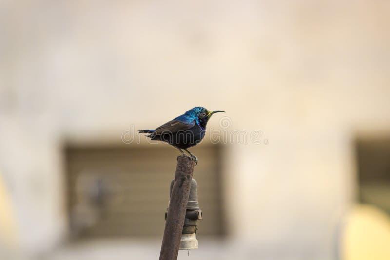 Svart - Sunbird royaltyfria bilder