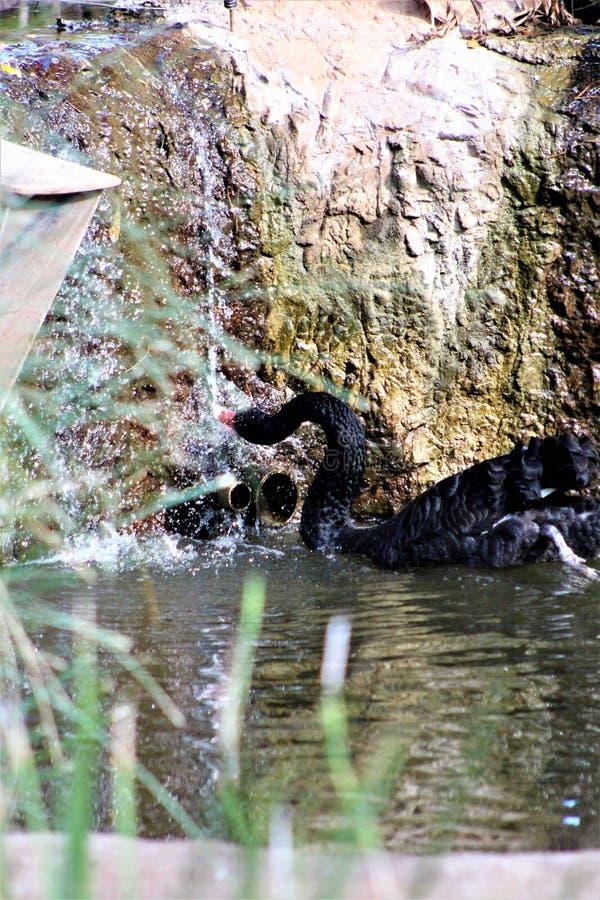 Svart svan på den Phoenix zoo i Phoenix, Arizona i Förenta staterna arkivfoto