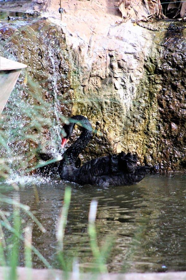 Svart svan på den Phoenix zoo i Phoenix, Arizona i Förenta staterna arkivfoton