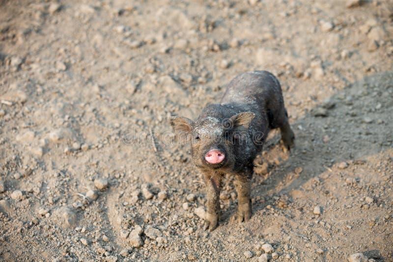Svart svin för hushåll i lantgården fotografering för bildbyråer
