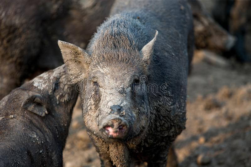 Svart svin för hushåll i lantgården royaltyfria foton