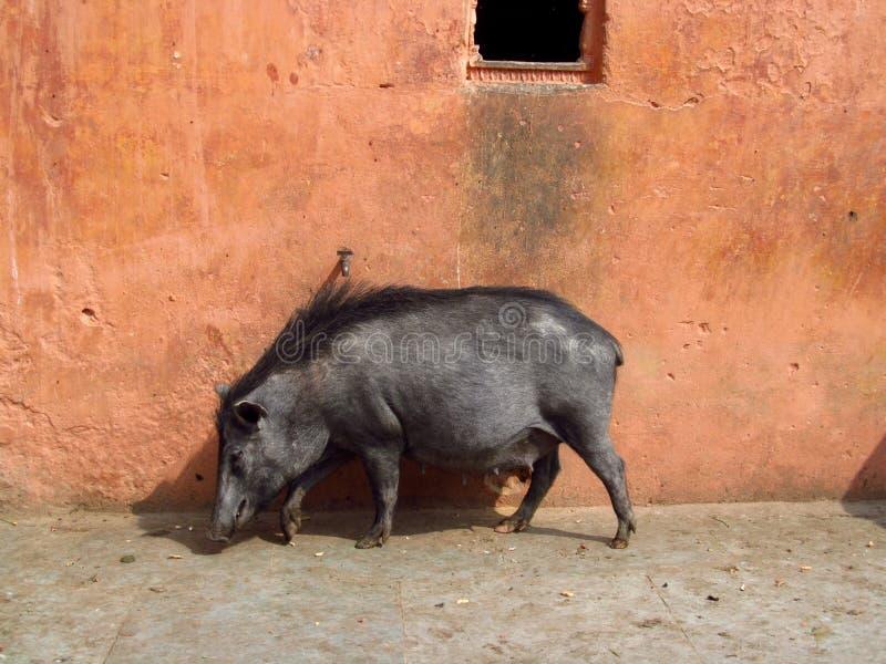 Svart svin i Indien royaltyfria foton