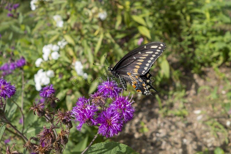 Svart Swallowtail fjäril på den purpurfärgade blomman i en outdorrträdgård fotografering för bildbyråer