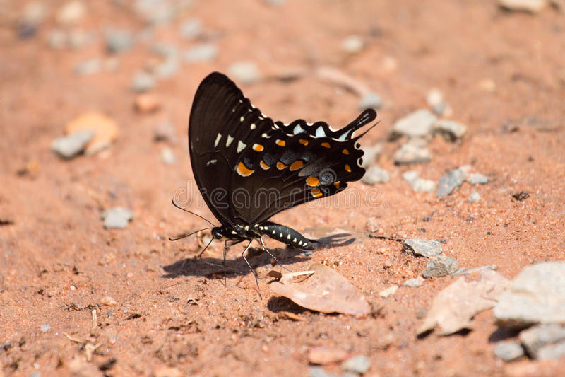 Svart Swallowtail fjäril på jordning arkivfoto