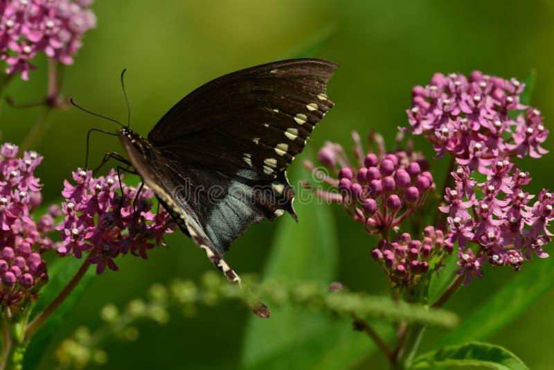 Svart Swallowtail fjäril på rosa kalanchoe royaltyfri bild
