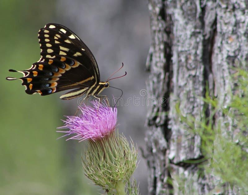 Svart Swallowtail fjärilsPollenating tistel royaltyfri bild
