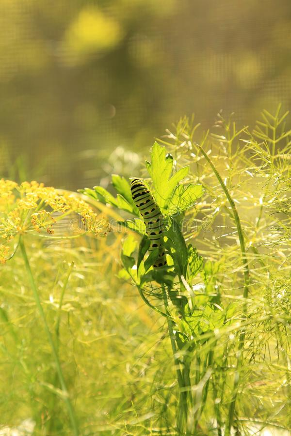 Svart Swallowtail larv på persilja och dill royaltyfria foton