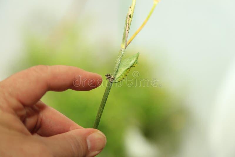 Svart Swallowtail puppa på stjälk av fänkål royaltyfria foton