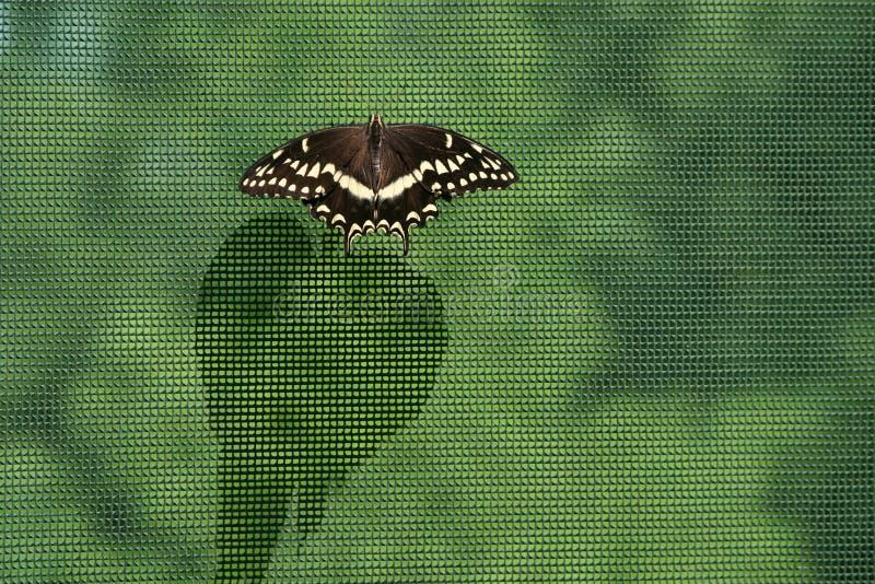 Svart swallowtailfjäril på ingrepp som förtjänar gjuta en lång shado royaltyfri foto