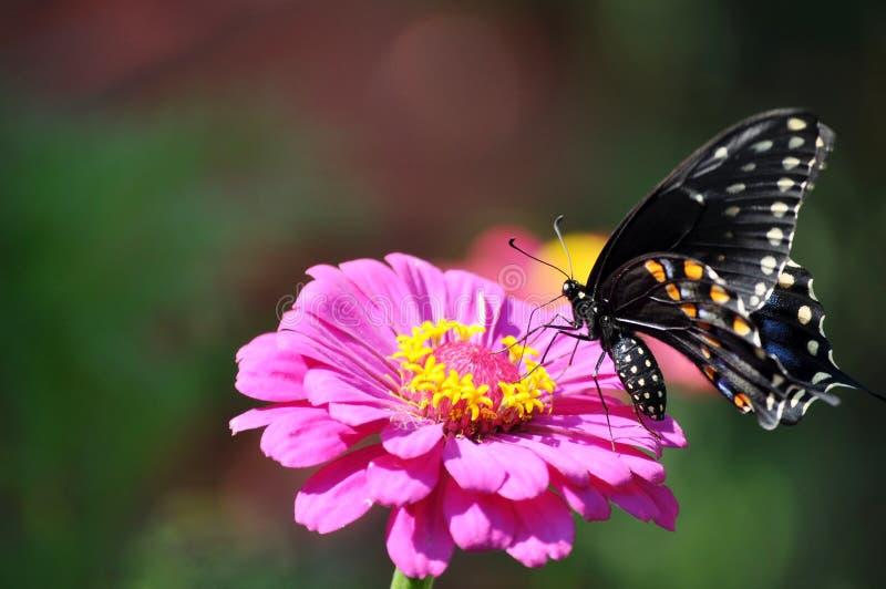 Svart swallowtailfjäril på rosa färgblomman arkivfoto