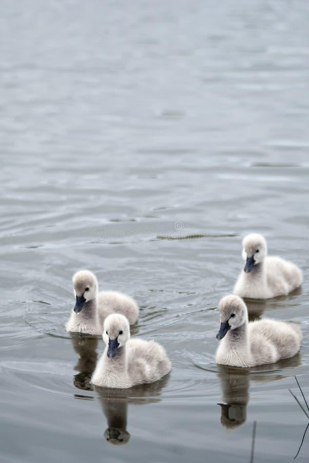 svart swan för cygnetsflottilj fyra fotografering för bildbyråer