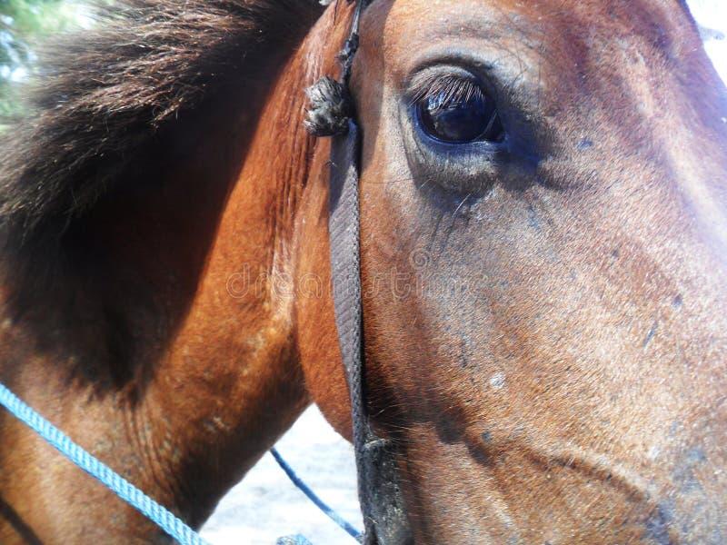 Svart synad häst arkivfoton