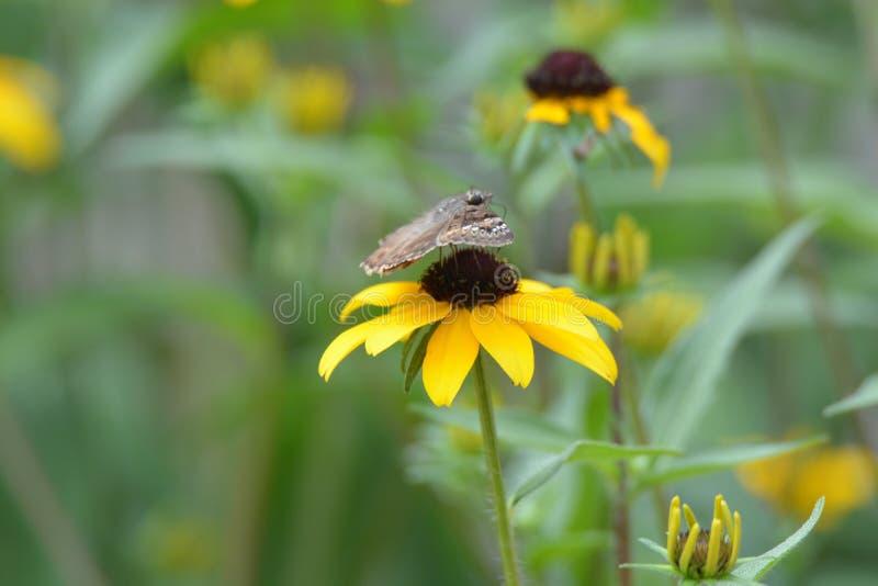 Svart synad mal för fjäril för susan blommaväxt arkivbild