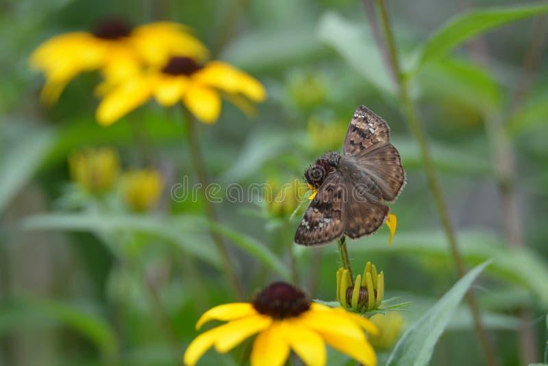 Svart synad mal för fjäril för susan blommaväxt arkivfoton