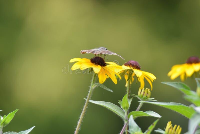 Svart synad mal för fjäril för susan blommaväxt arkivbilder