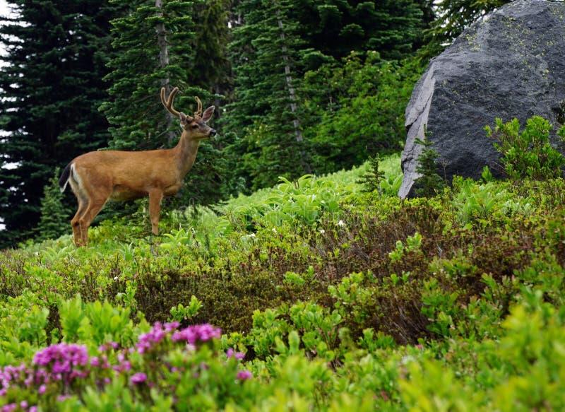 Svart Tailed bock på Mt Rainier National Park royaltyfria foton