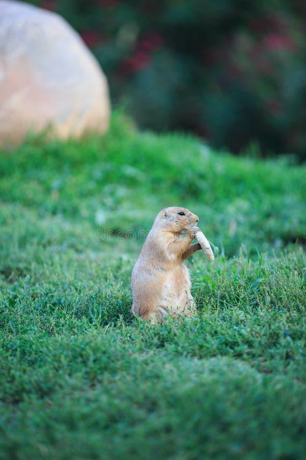 svart tailed marmotprärie arkivfoto