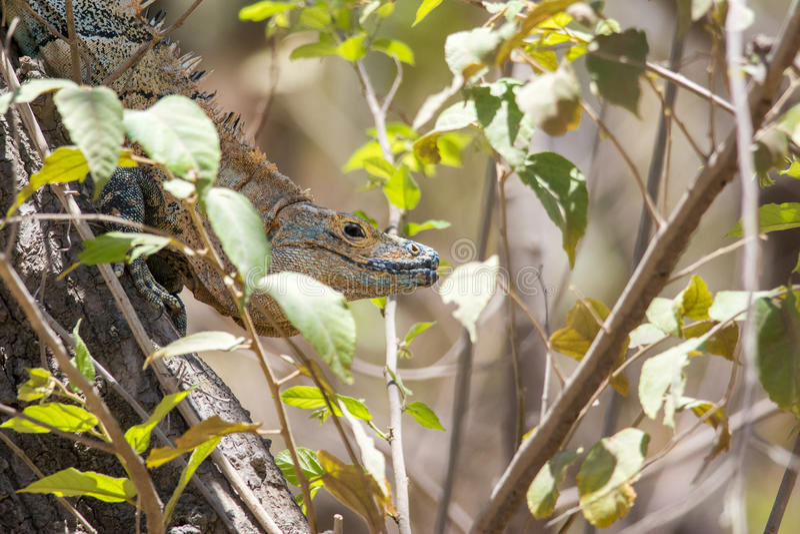 svart tailed spiny för leguan royaltyfria bilder