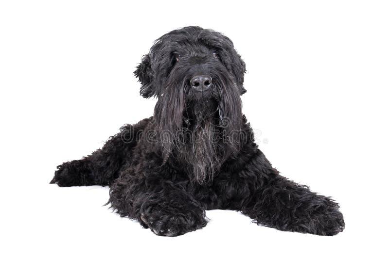 Svart terrier royaltyfri bild