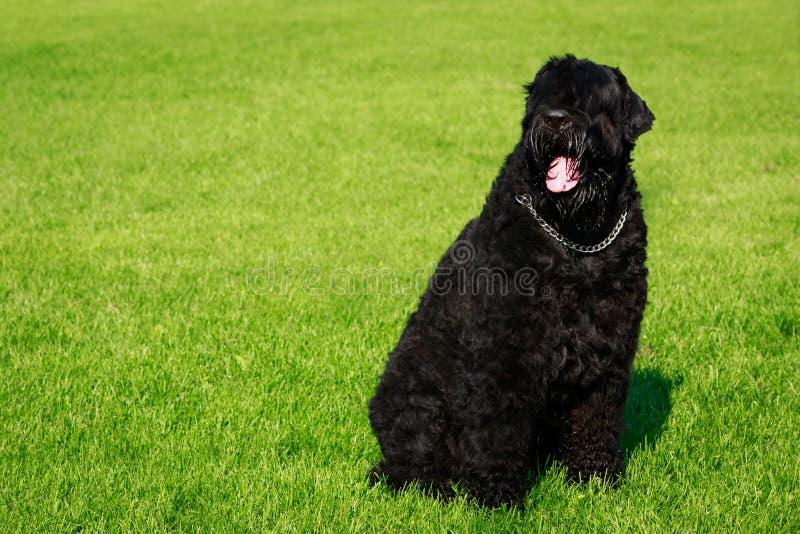 Svart Terrier för hundavelryss royaltyfria foton
