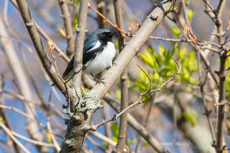 Svart-throated blå sångare - Setophagacaerulescens royaltyfri bild