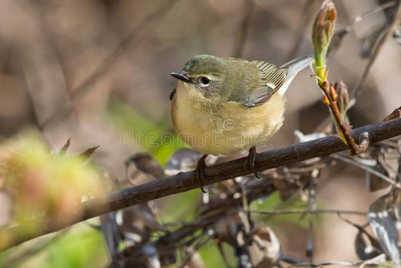 Svart-throated bl? s?ngare - Setophagacaerulescens fotografering för bildbyråer
