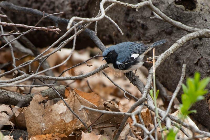 Svart-throated bl? s?ngare - Setophagacaerulescens arkivbild