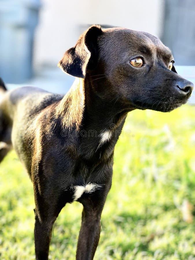Svart tjalla det Terrier hundfotoet royaltyfri fotografi