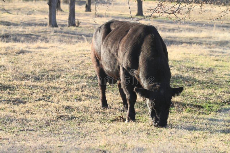 Svart tjur som betar på tidigt vårgräs arkivfoton