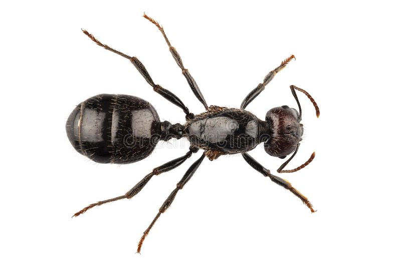 Svart trädgårds- myraart Lasius niger royaltyfria foton