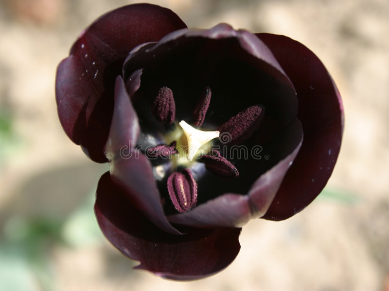 svart tulpan royaltyfria bilder