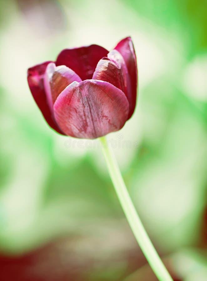 Svart tulpan, naturlig plats, skönhetfilter royaltyfria foton