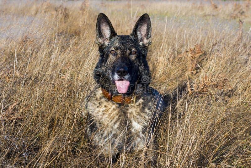 Svart tysk herde Dog i ett fält royaltyfri foto