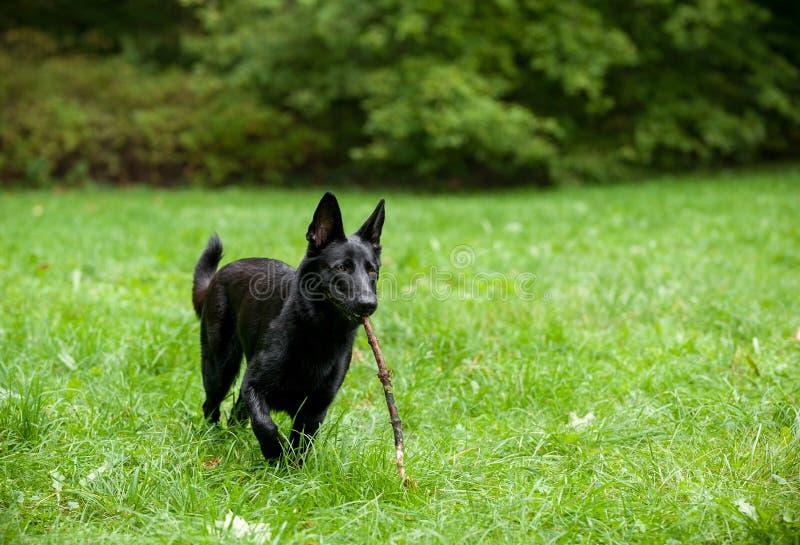 Svart tysk herde Dog Playing på gräset Filial i mun arkivfoton