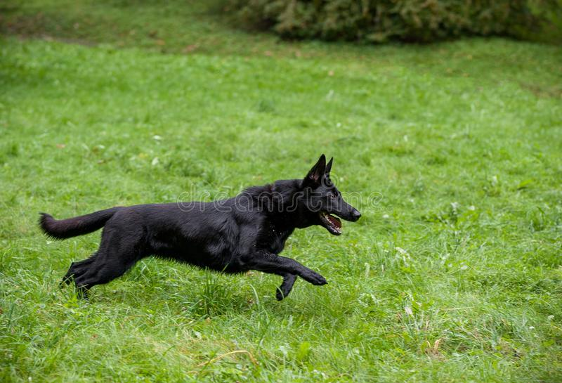 Svart tysk herde Dog Running på gräset Den öppna munnen, spontar ut arkivbilder