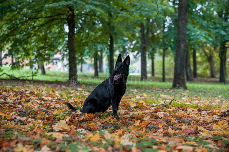 Svart tysk herde Dog Sitting på gräset Den öppna munnen, spontar ut höstsidor i bakgrund royaltyfria foton