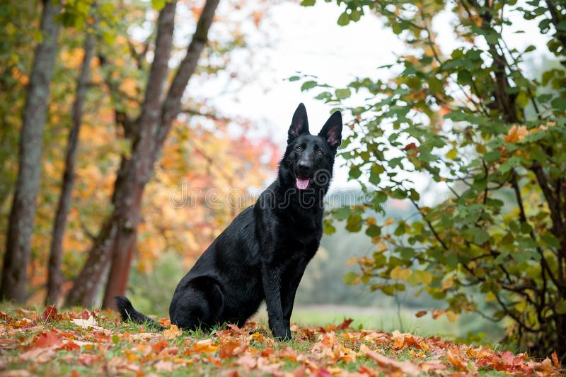Svart tysk herde Dog Sitting på gräset höstsidor i bakgrund Den öppna munnen, spontar ut fotografering för bildbyråer