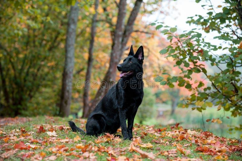 Svart tysk herde Dog Sitting på gräset höstsidor i bakgrund Den öppna munnen, spontar ut royaltyfri bild