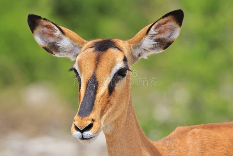 Svart-vänd mot impala - afrikansk djurlivbakgrund - blick av liv arkivfoton