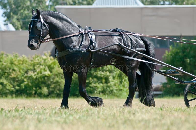 svart vagn som kör friesianhästen royaltyfria foton